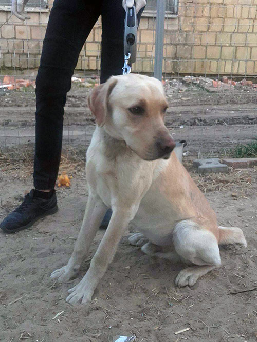 Labrador do adopcji