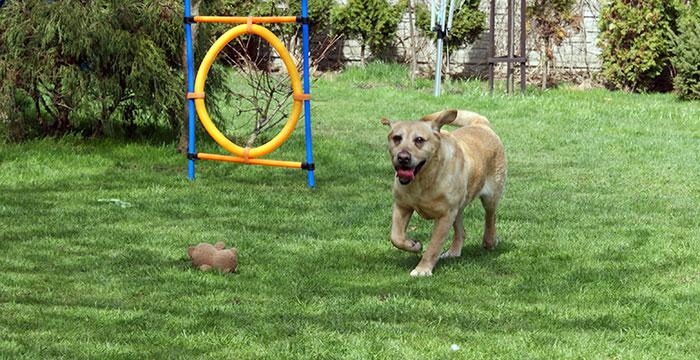 Karo, labrador do adopcji
