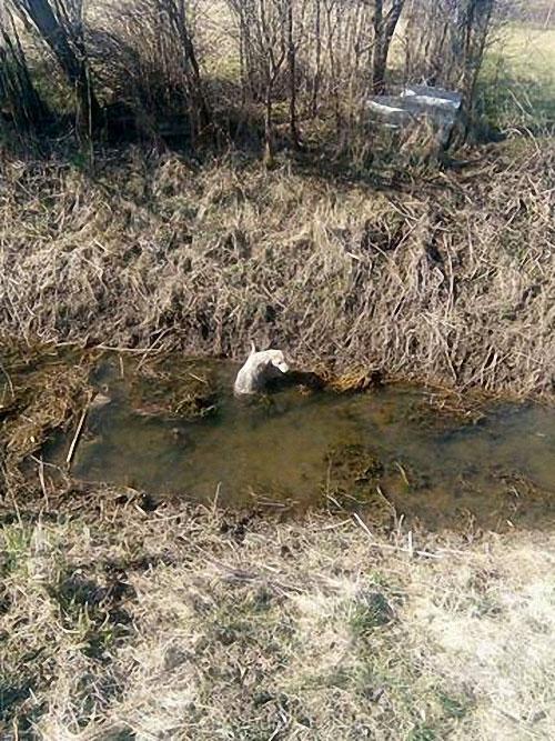 Labradorka w potrzebie