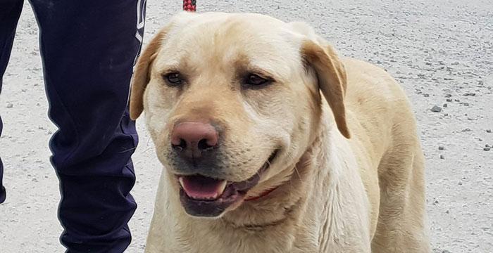 Znaleziona labradorka