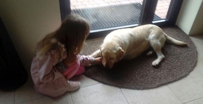 Flora, labradorka do adopcji