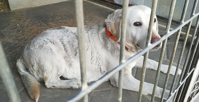 Gabrysia, labradorka do adopcji