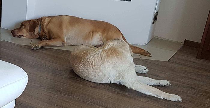 Labradorka Hania