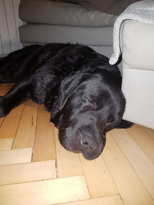 Hektor, niewidomy labrador