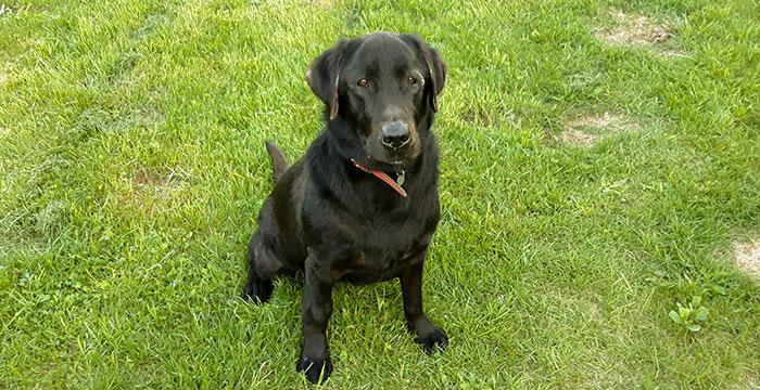 Karmen, labradorka do adopcji