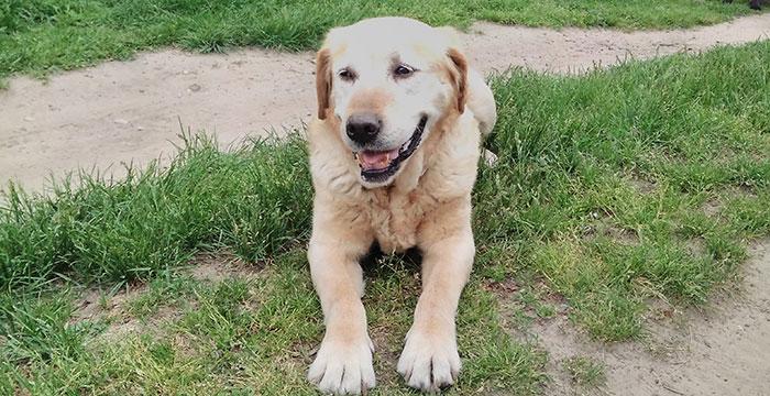 Misia, labradorka do adopcji