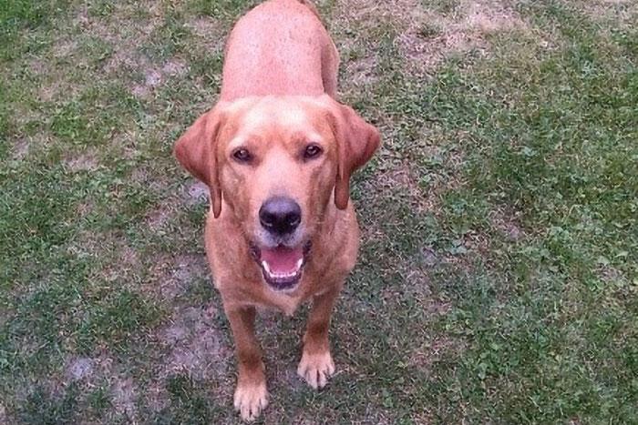 Labrador Rudi