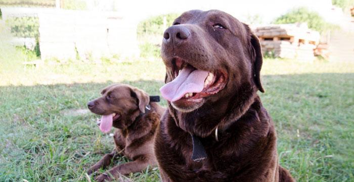 Czekoladowe labradorki do adopcji