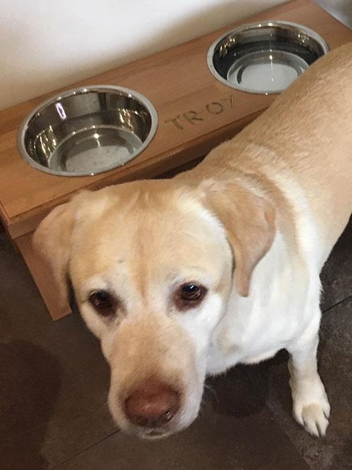Labrador Troy