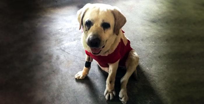 Bunia, labradorka do adopcji