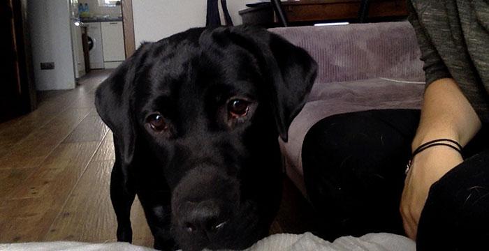 Perła, labradorka do adopcji
