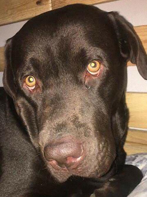 Koko, labrador do adopcji