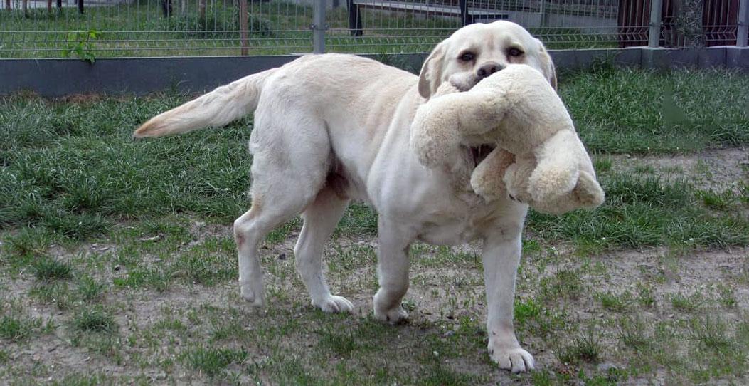 Maurycy, labrador do adopcji