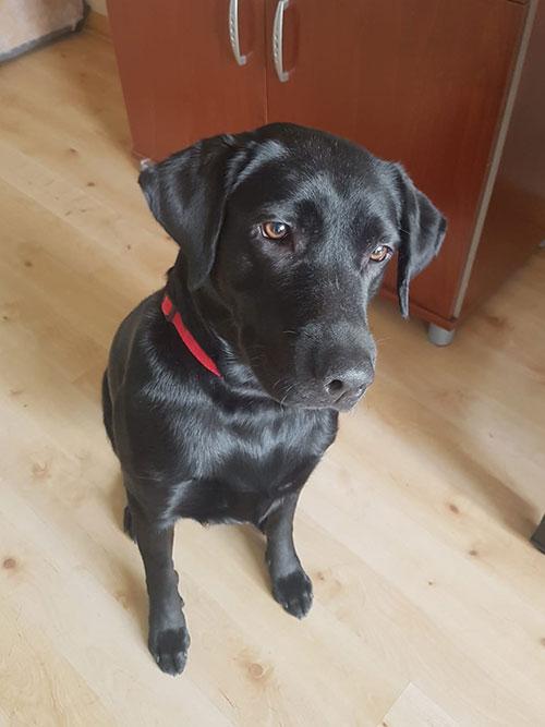 Nora, labradorka do adopcji