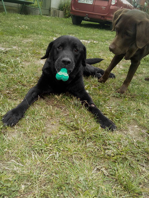 Orion, labrador do adopcji