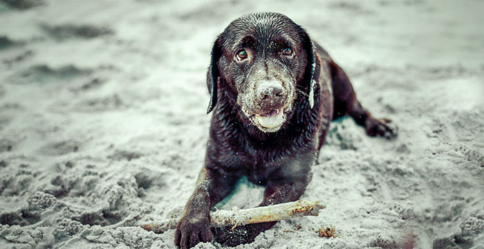 Zaginiona labradorka