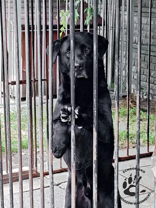 Urwis, labrador do adopcji