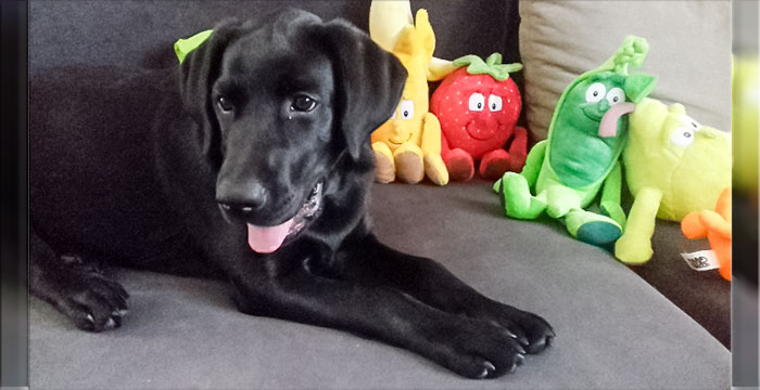 Onyx, labrador do adopcji