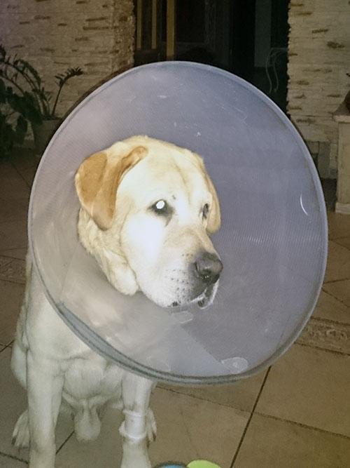 Labrador Baron