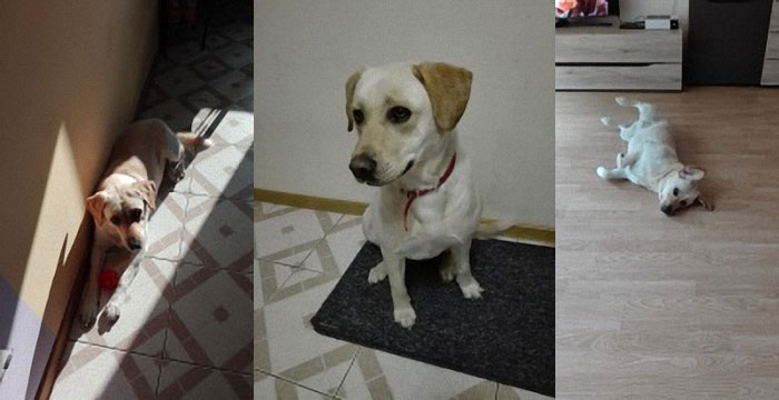 Luśka, labradorka do adopcji