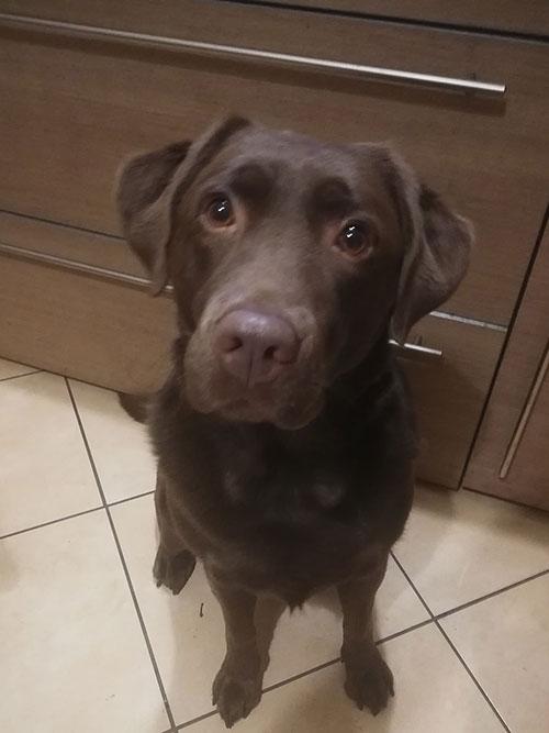 Mila, labradorka do adopcji