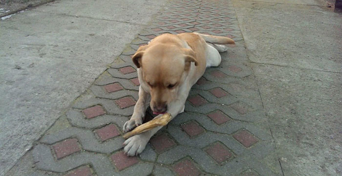 Fado, labrador do adopcji