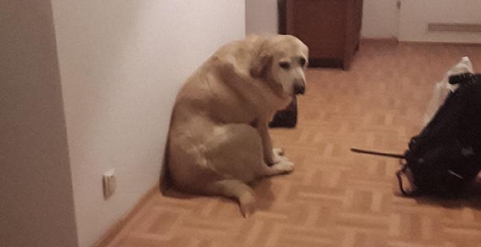 Tasza, labradorka do adopcji
