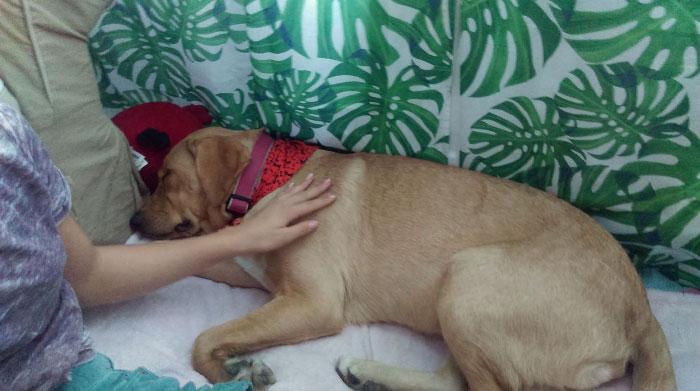 Tina, labradorka do adopcji