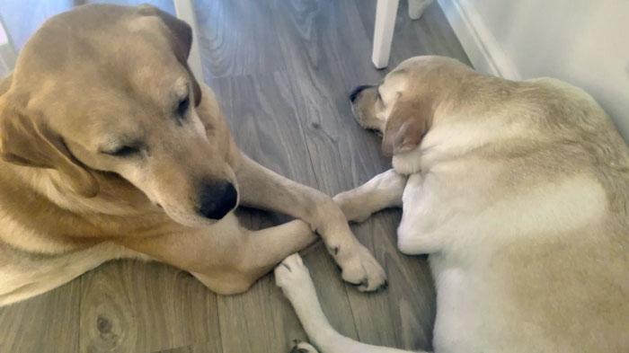 Edi, niewidomy labrador