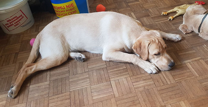 Lui, labrador do adopcji