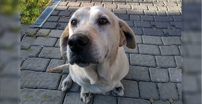 Lusia, labradorka do adopcji