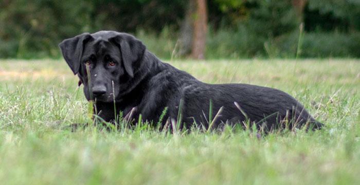 Sasza, labradorka do adopcji