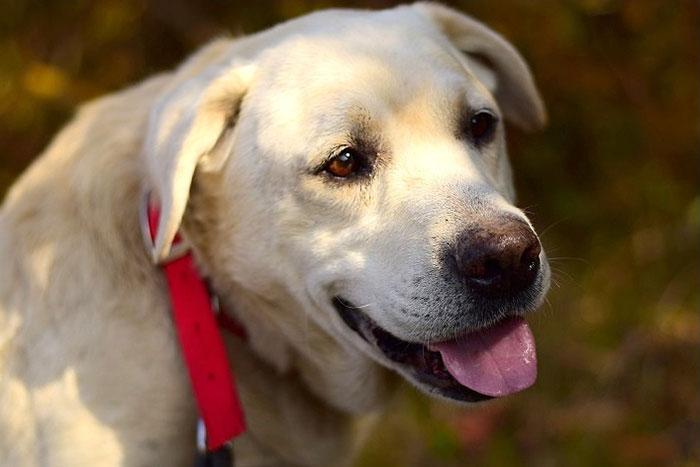 Bielik, labrador do adopcji