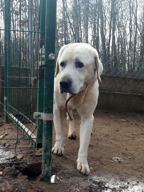 Labrador Bruno w potrzebie