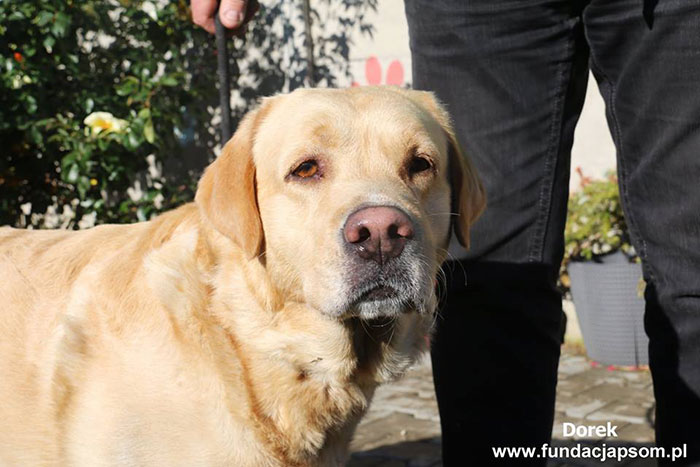 Dorek, labrador do adopcji