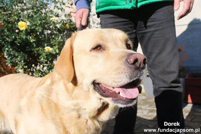 Dorek, labrador do adopcji