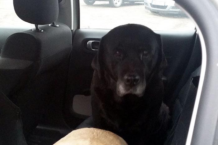 Labradorki Holly i Dixie