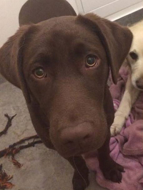 Mania, labradorka do adopcji