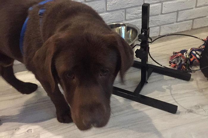 Labrador. Wedel