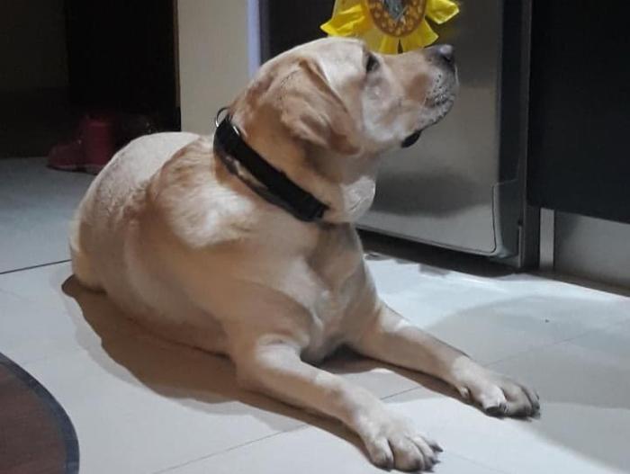 Labrador Amant