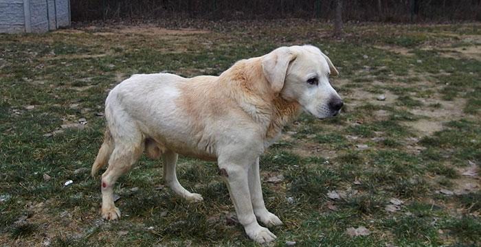 Bruno, labrador w potrzebie