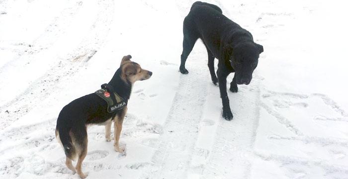 Labrador Charlie