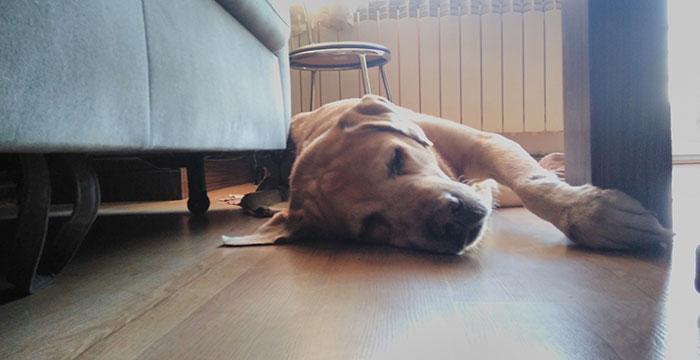 Dexter, labrador do adopcji