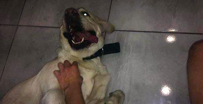 Labrador Jowisz w nowym domu