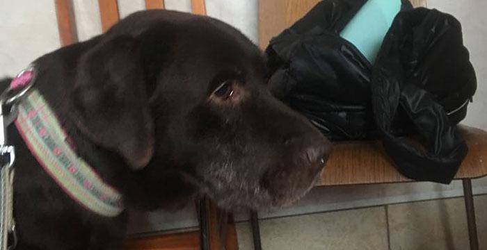 Julek, labrador do adopcji