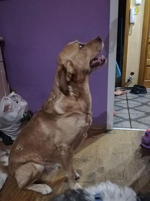 Labrador do adopcji