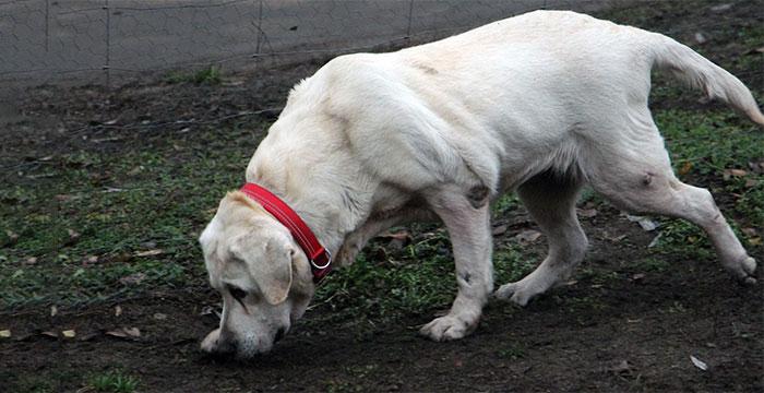Labradorka Lena do adopcji