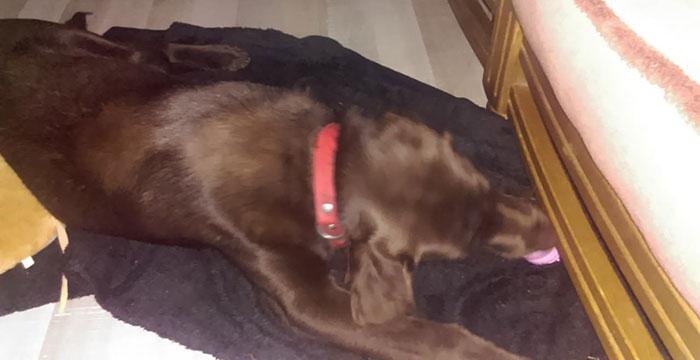 Xena, labradorka do adopcji
