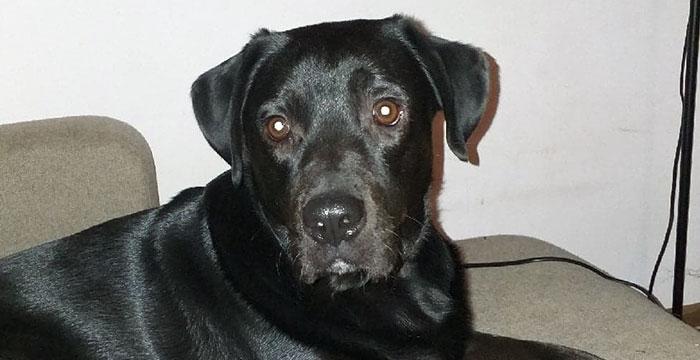 Yogi, labrador do adopcji