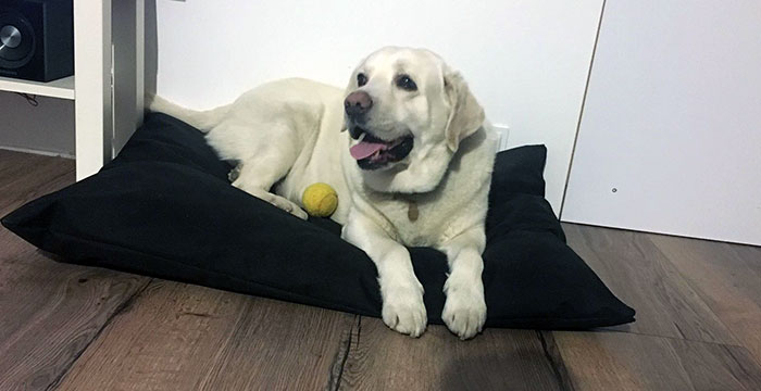 Basket, labrador do adopcji